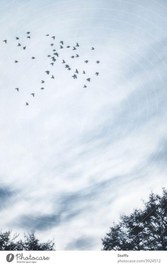 swarm behaviour birds Flock of birds Domestic Nordic romanticism Meaning Poetic Picturesque flock of birds high up Flight of the birds blue-grey Dreamily