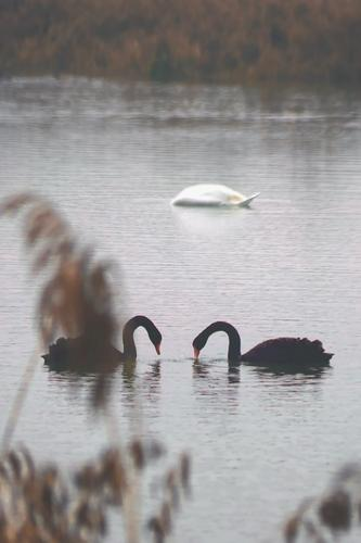 Swan lake - two black swans facing each other and a white dived swan looking for food Lake Body of water 3 animals waterfowls Foraging Wildlife tranquillity
