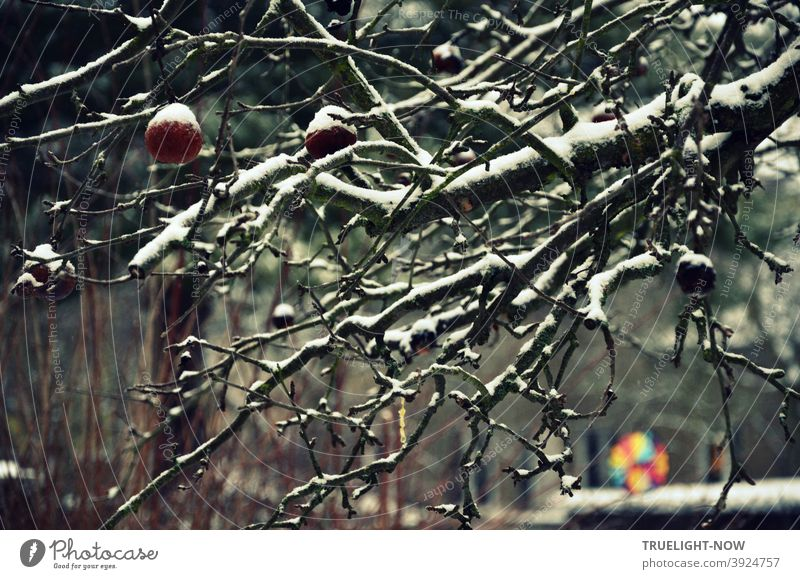 Overgrown apple tree in winter twilight with some apples and shining snow on the dark branches and a blurred neon colored pinwheel in front of grey background