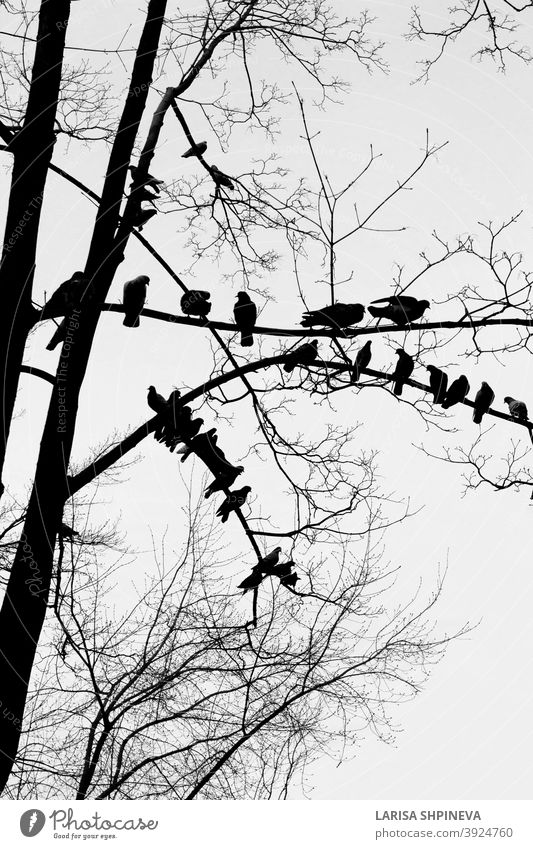 Black silhouette of bare tree with birds doves on white background birds sitting outdoor black nature isolated art branch forest plant environment dry old wood