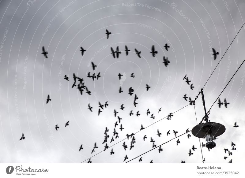 Air traffic again at last air traffic Flight of the birds Flock of birds black-white Exterior shot Flying Sky Animal Deserted Clouds Grand piano Freedom
