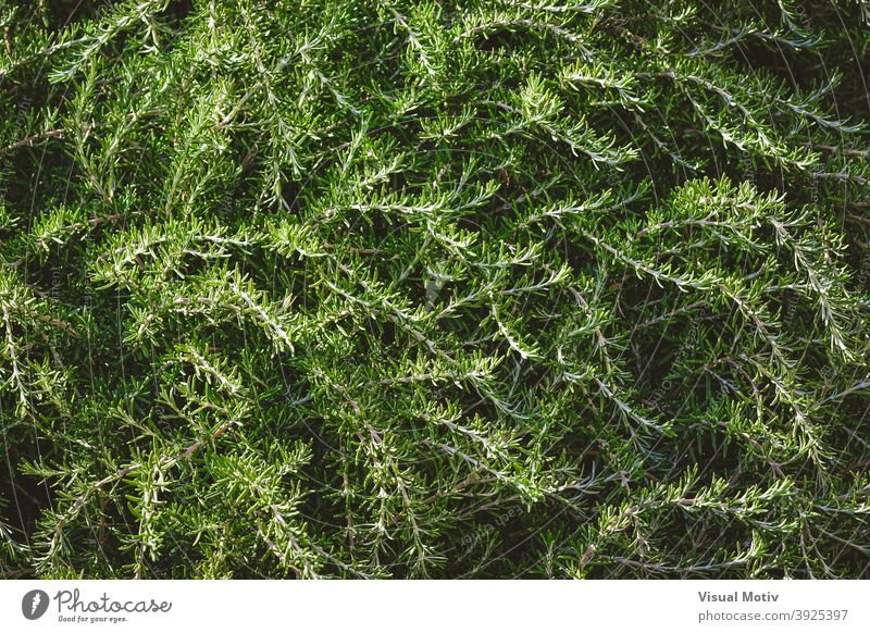 Background of wild aromatic branches of rosemary bushes plants leaves foliage green nature organic botany flora texture outdoors botanic background natural herb