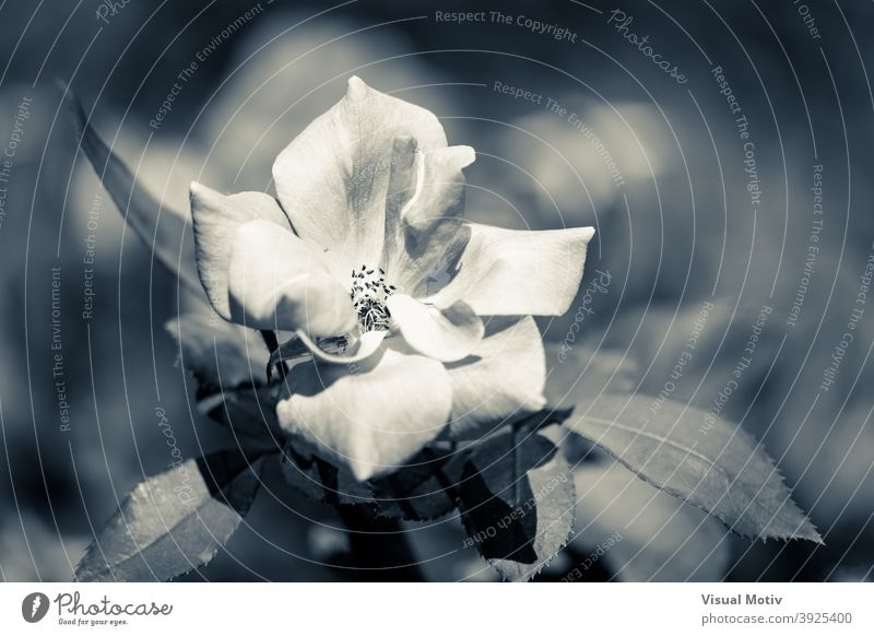 Close-up of a white rose in cold duotone flower nature botany bloom flora blossom petals flowery floral monochrome inflorescence plant botanic outdoors garden