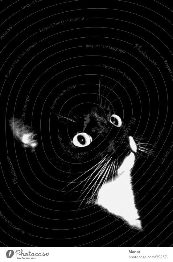 Mishesh Cat Domestic cat Black & white photo Contrast Detail