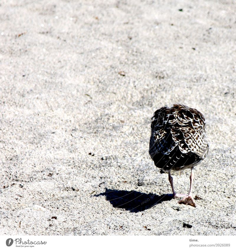 young animal blues Seagull Bird Beach Sand Going lowered head sunny Shadow animal portrait Rear view