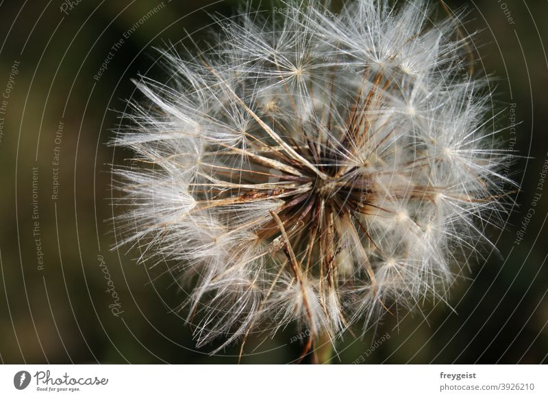 Dandelion Transience dandelion Dried flower Macro (Extreme close-up) Nature Close-up Flower Plant Blossom Detail naturally Environment Wild plant Colour photo