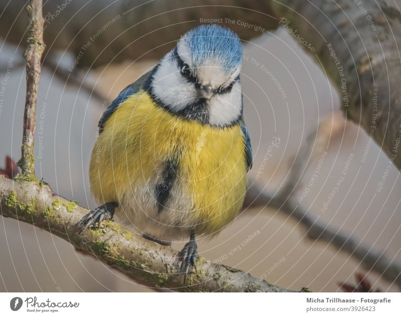 Blue Tit in Tree Tit mouse Cyanistes caeruleus Bird Animal face Head Beak Eyes Feather Plumed Grand piano Claw Wild animal Twigs and branches Nature