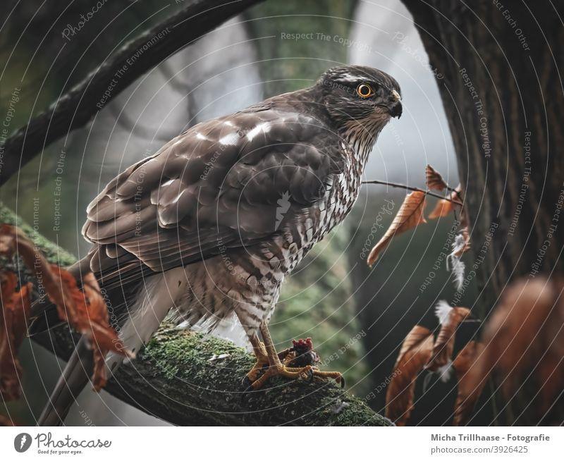 Sparrowhawk in tree Accipiter nisus Bird of prey bird of prey Wild bird Head Beak Eyes feathers plumage Legs Claw Grand piano Prey To feed Tree