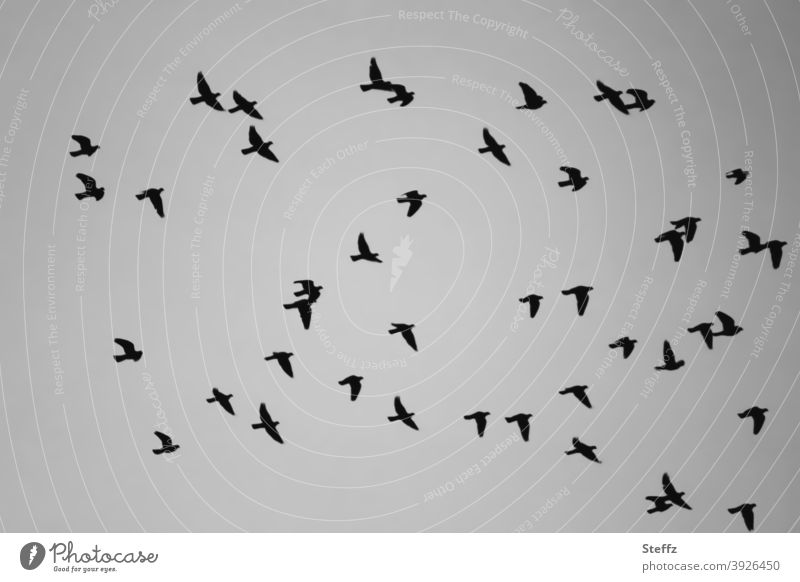 2021 | be free and fly birds Flock of birds Flight of the birds flying birds birdwatching swarm behaviour Flying Bird Freedom Air at the same time Attachment