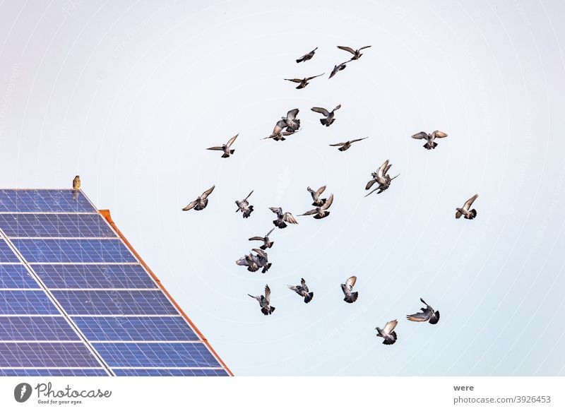 a flock of flying pigeons in front of a roof with solar panels on which a hawk is sitting Buteo animal animal themes animal wildlife animals in the wild