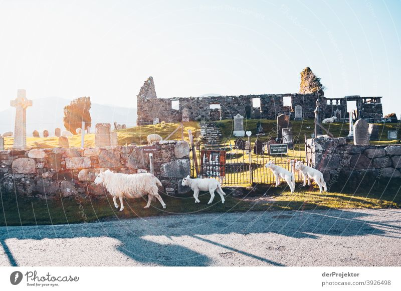 Flock of sheep in front of cemetery on Isle of Skye Free time_2017 Joerg farys theProjector the projectors Deep depth of field Contrast Copy Space bottom