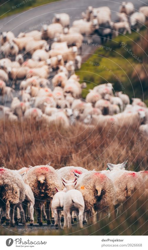 Flock of sheep in Scotland I Free time_2017 Joerg farys theProjector the projectors Deep depth of field Contrast Copy Space bottom Copy Space top