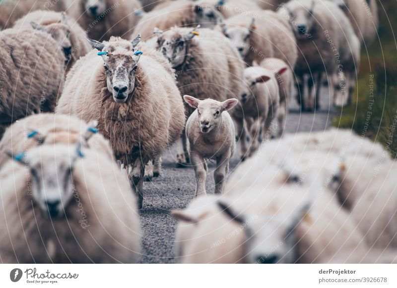 Flock of sheep in Scotland VII Free time_2017 Joerg farys theProjector the projectors Deep depth of field Contrast Copy Space bottom Copy Space top