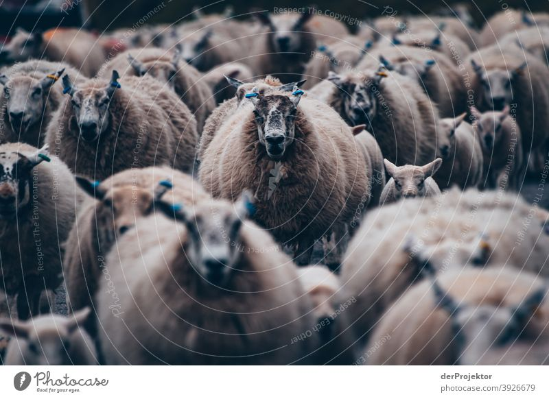Flock of sheep in Scotland VI Free time_2017 Joerg farys theProjector the projectors Deep depth of field Contrast Copy Space bottom Copy Space top