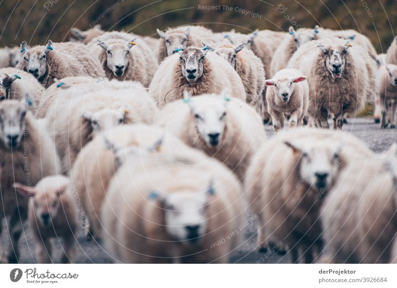 Flock of sheep in Scotland V Free time_2017 Joerg farys theProjector the projectors Deep depth of field Contrast Copy Space bottom Copy Space top