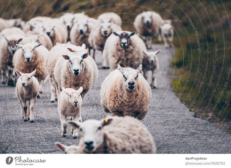 Flock of sheep in Scotland II Free time_2017 Joerg farys theProjector the projectors Deep depth of field Contrast Copy Space bottom Copy Space top