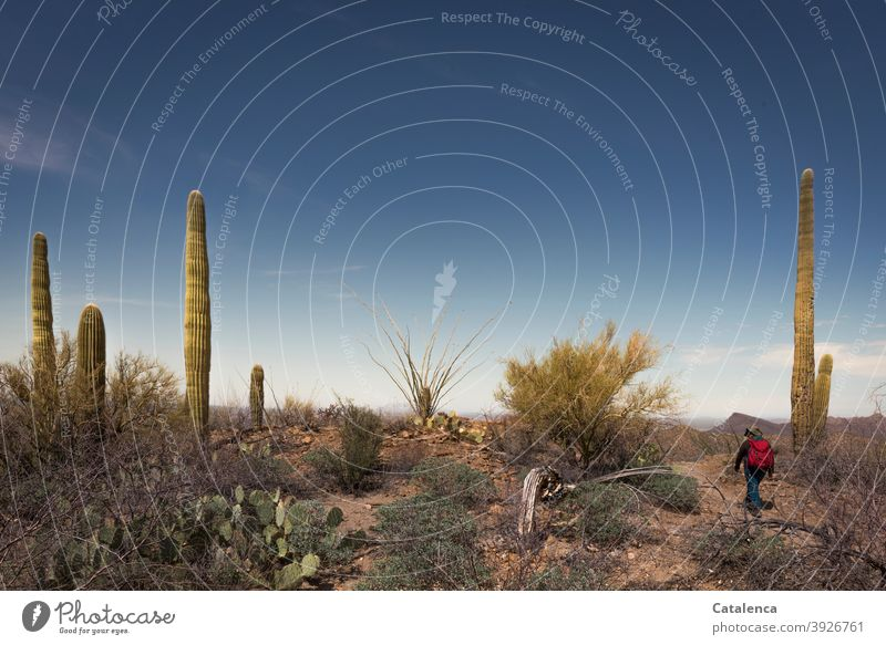 On the road in the Sonora desert, saguaro cacti and thorn bushes line the way shrubber Sky stones Dry Desert Long peak prickles Saguaro cactus Plant flora