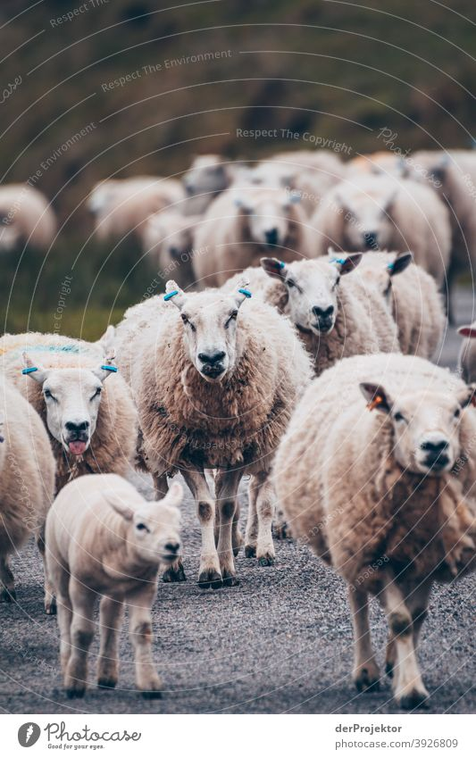 Flock of sheep in Scotland IV Free time_2017 Joerg farys theProjector the projectors Deep depth of field Contrast Copy Space bottom Copy Space top