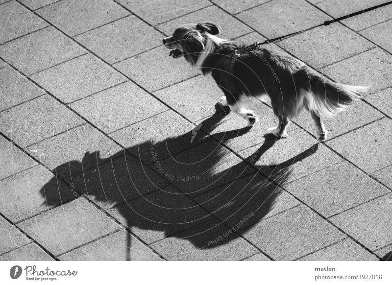 Dog on leash casts shadow Shadow view from above pavement Black & white photo Animal Exterior shot Deserted
