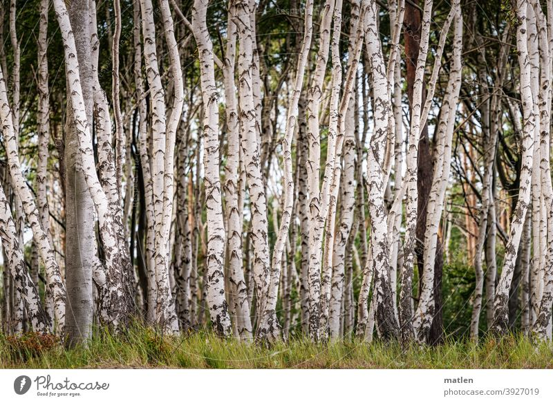 all of one mind, one direction... Birch tree Tree Grass Karl Marx City tight Exterior shot Clump of trees Deserted