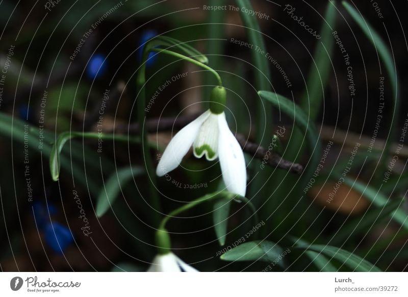 Snowdrop Spring flowering plant