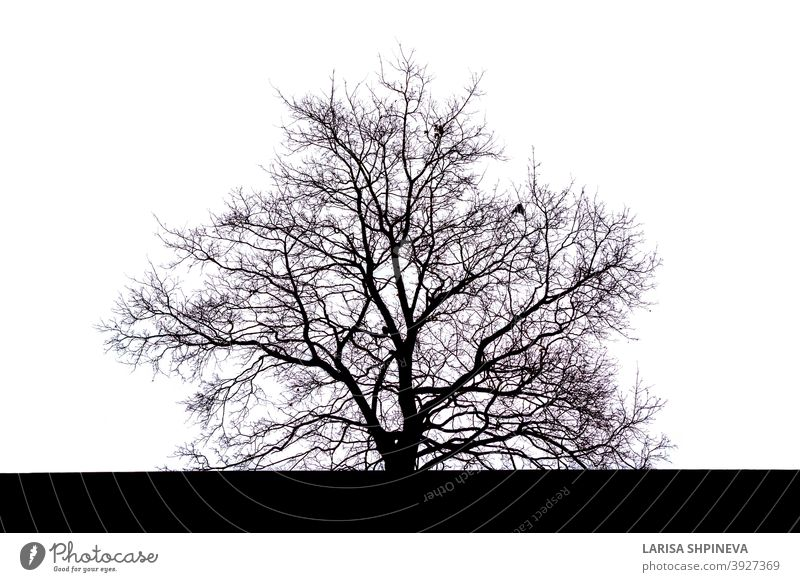 Silhouette of a large spreading black tree with branches without leaves in autumn on a white background dead isolated silhouette old dry bare trees nature plant
