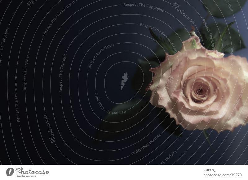rose Rose Bird's-eye view Pink Flower