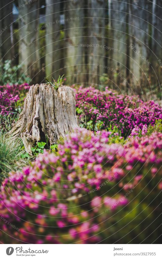 An old tree stump in the middle of a pink sea of flowers Tree Tree trunk Old Decompose Log Wood Tree stump Change ornamental Exterior shot Colour photo