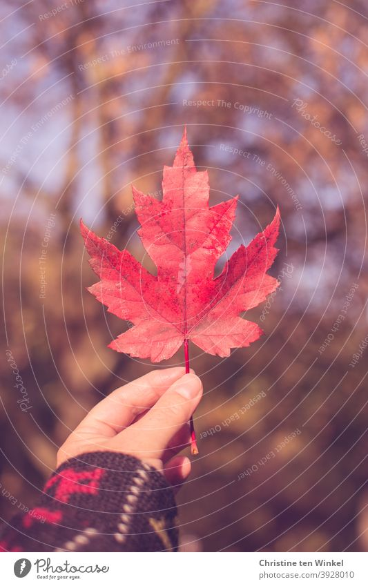 Hand holding up red autumnal maple leaf.... Background with dappled sunlight and bokeh Maple leaf Red Maple tree Leaf Uphold Autumn Indicate speckled light