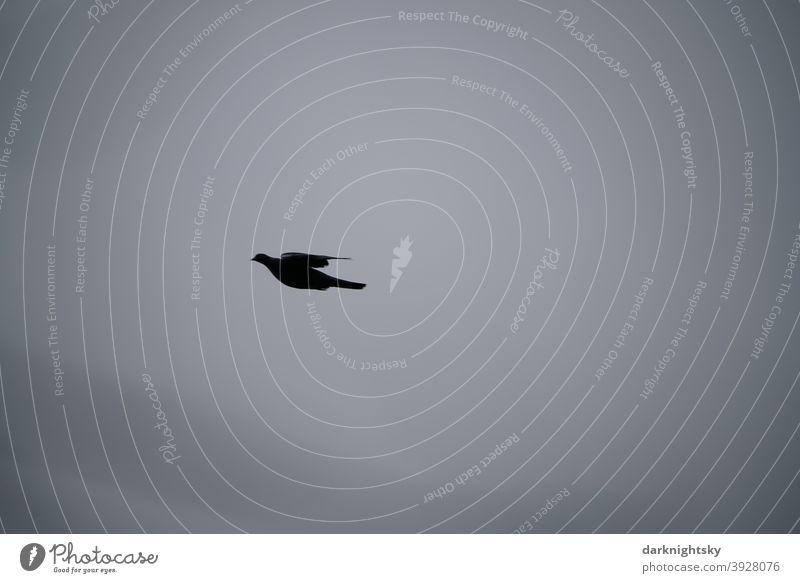 Flying wood pigeon against grey overcast sky (Columbidae) Pigeon Dove of peace Peace flight flying Sailing Grand piano flapping Gray columbidae dove bird