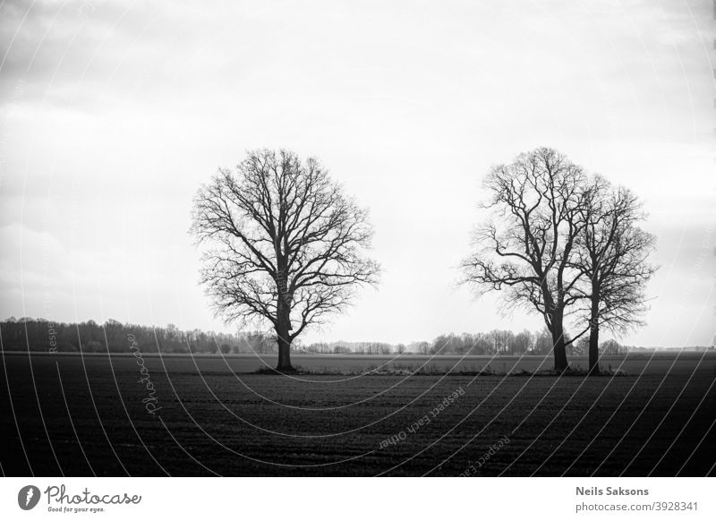 three trees on meadow at misty sunset in black and white. Winter in Latvia. Oaks without leaves Landscape panorama sunrise landscapes autumn panoramic fall
