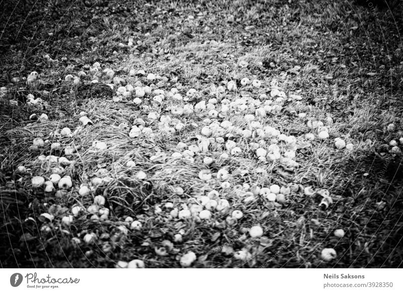 apples on the ground, rotten apples in the grass Apple autumn bio branch countryside crunchy cultivated fallen farm field food fruit garden gardening green