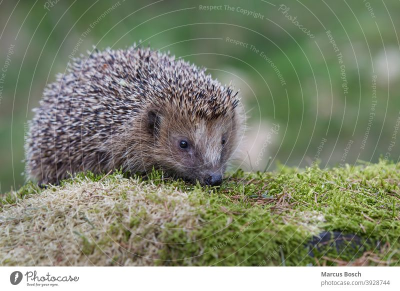 Igel, Erinaceus europaeus, Hedgehog Braunbrustigel Erinaceidae Moos Stacheln augen brown-billed cute eyes green gruen moss nase niedlich nose spiky spines