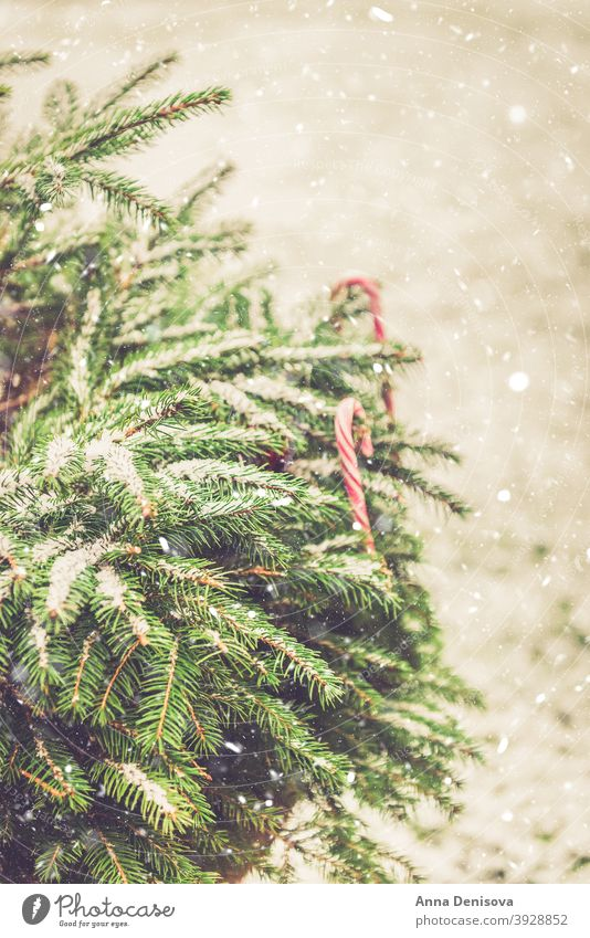 Natural fir tree brunches covered with snow, Christmas concept texture background christmas new year pine evergreen spruce branch nature winter plant fir-tree