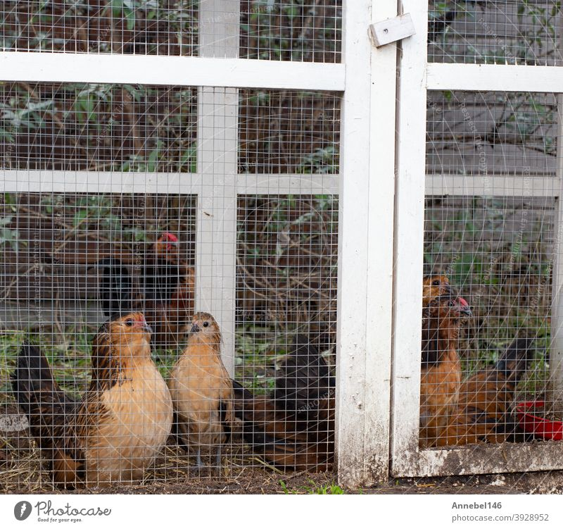 Brown ornamental chickens in cage, fancy appearance in backyard close-up animal breed pet feathers bird poultry plumage domestic hen white black pets cock farm