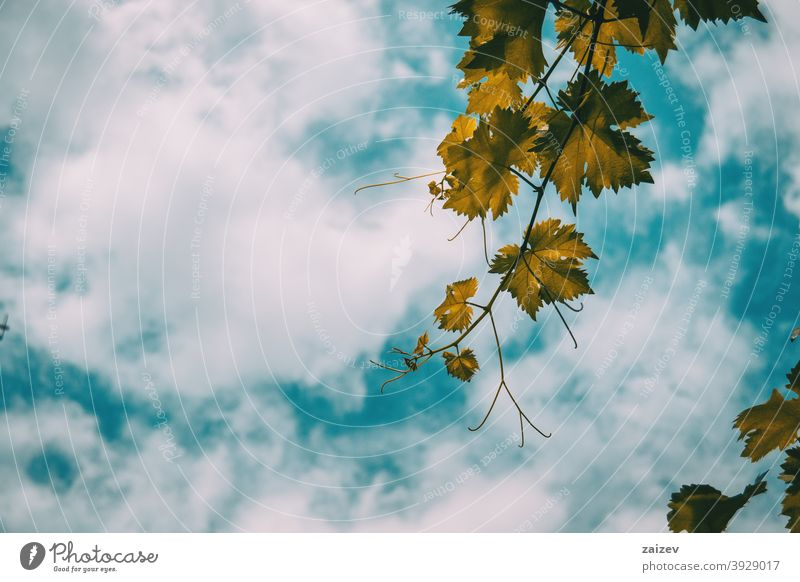 vitis vinifera leaves on a background of the blue sky common grape vine clouds horizontal color copy space left heaven peace grapevine vineyard developing