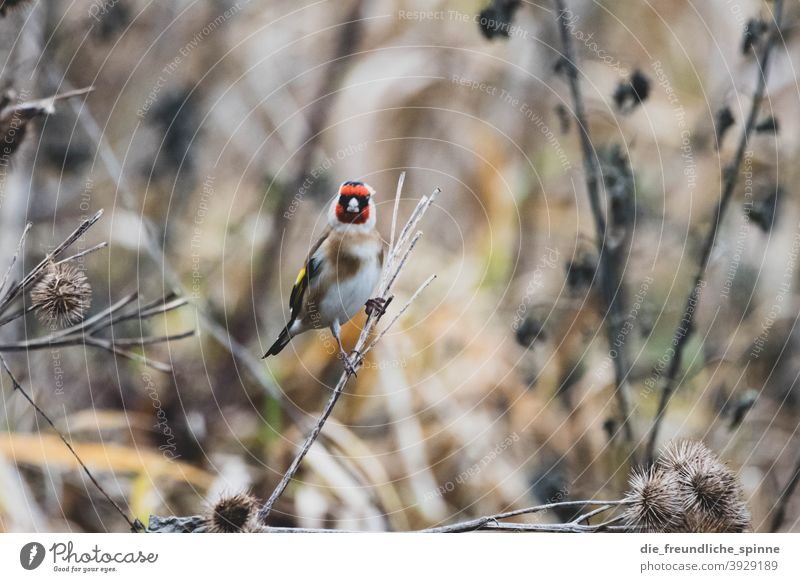Goldfinch in winter goldfinch Finch Bird Flying Red Animal Nature Exterior shot Wild animal Day Animal portrait Sit Small Cute Close-up Colour photo Branch