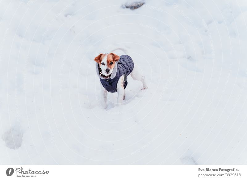 portrait outdoors of a beautiful jack russell dog at the snow wearing grey coat. winter season playing playful cute small sunny mountain cold frosty wintery