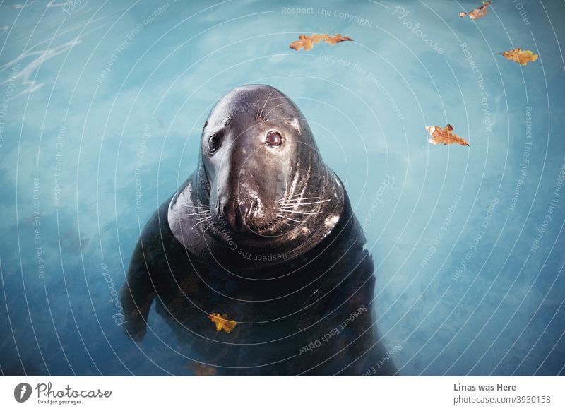 This gorgeous seal is looking straight into the camera. It feels like he's also looking straight into the soul. Bluewater and yellow leaves are in the background, though it's all about the big brown eyes of the water mammal.
