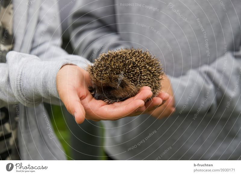 Little hedgehog in children's hands Hedgehog Animal Wild animal Thorny Nature stop Hand Child Small Cute Garden Autumn