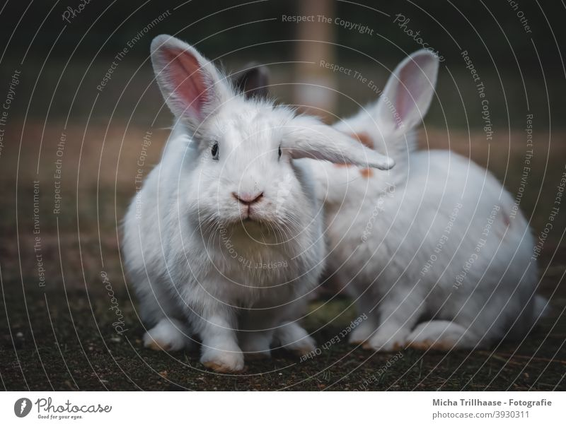 White dwarf rabbits Dwarf Rabbits Pygmy rabbit hares Head eyes Nose Muzzle ears floppy ears paws Pelt Cute inquisitorial Looking Observe look at Pet Small cute