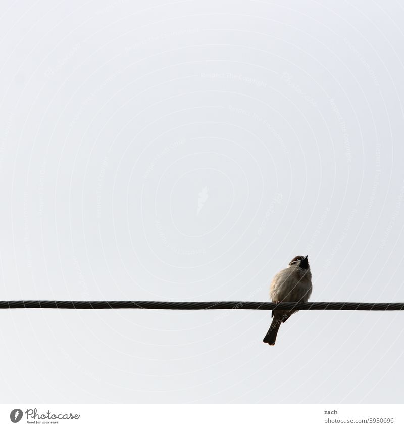 seating Gray Sit 1 Bird Animal Cable High voltage power line Energy industry Sparrow sparrow Summer Spring Nature