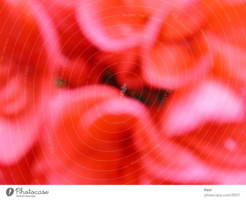 flower Flower Red Blur