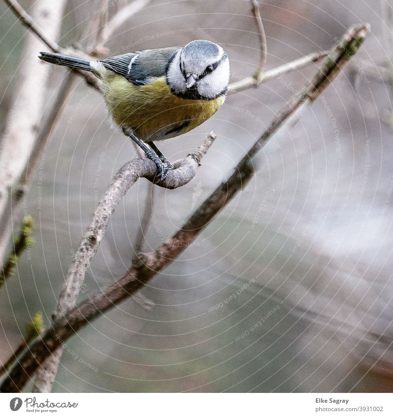 Blue tit in December - in front of blurred background Tit mouse Bird Colour photo Animal portrait Deserted Exterior shot Day Feather Close-up