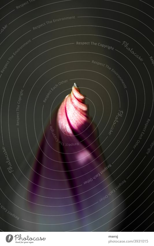 Curious to see what the new year may bring. Illuminated tip of the flower bud of a bindweed New start Anticipation Spiral Purity Harmonious Life Bud