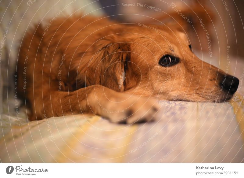 Couchpotato Dog Puppydog eyes Sofa Animal Animal protection Pelt Brown Lie relax Snout couch Couch Potato
