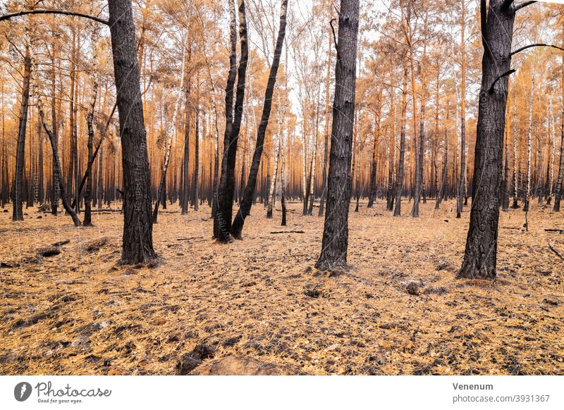 July 16 2019 , Forest after the fire from the 08.06.2019 in the vicinity of Jüterbog and Luckenwalde forest floor burned summer forest fire tree trees