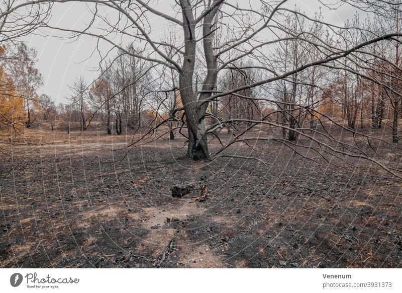 July 16, 2019 , forest after the fire of 08.06.2019 near Jüterbog and Luckenwalde. Forest Woodground Burnt Summer Forest fire Tree trees Dead trees charred
