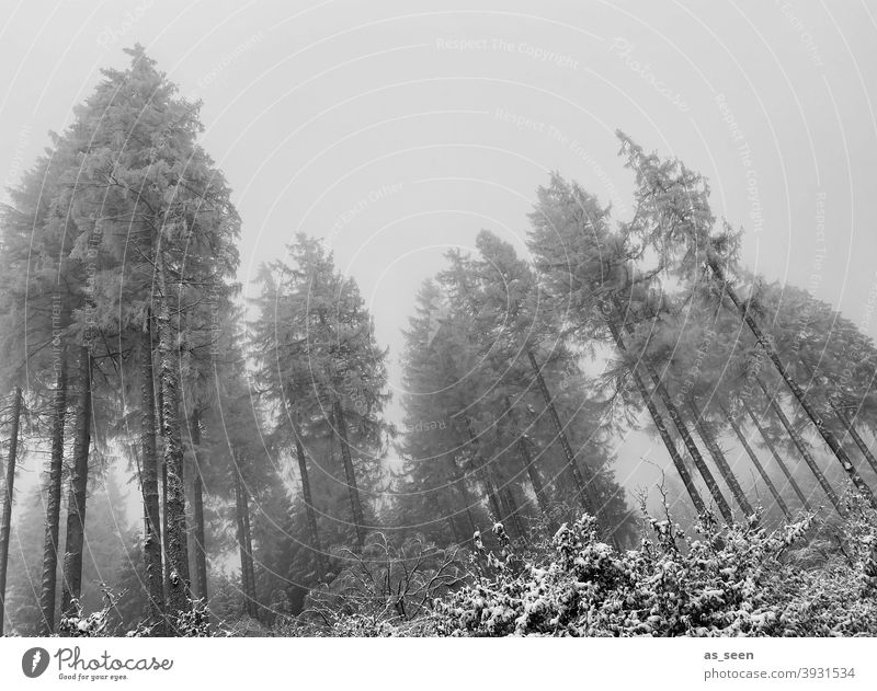 Firs in the fog First Snow Fog Gray somber Worm's-eye view Black & white photo Tall Ghostly Exterior shot Winter Tree Cold Nature Deserted Forest White