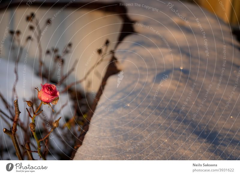 rose, shadow, snow in golden winter sunset light aging process autumn background board Christmas closeup cold concept copy space dead December display